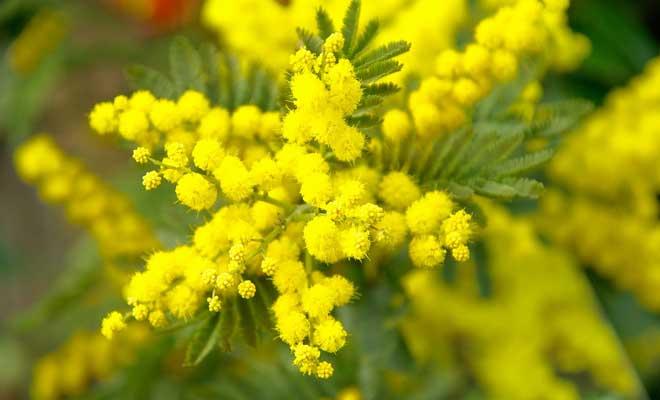 Mimoza Çiçeği